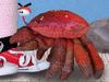 Caspar Babypants - Pretty Crabby